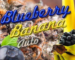 Auto Blueberry Banana