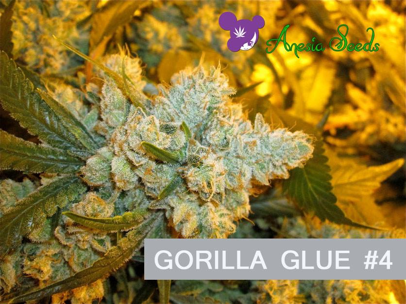 Gorilla-Glue-4