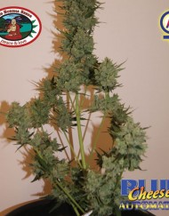 big-buddha-seeds-blue-cheese-automatic2