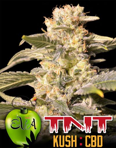 TNT-Kush-CBD