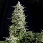 Amnesia Gold von Pyramid Seeds