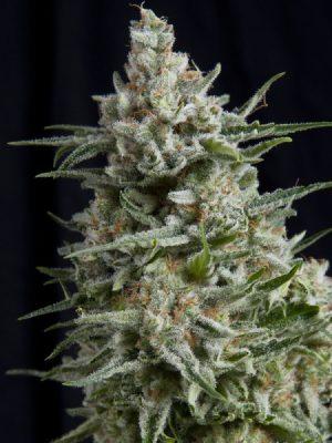 Anesthesia von Pyramid Seeds