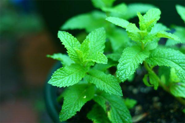 Cannabisanbau Pfefferminze