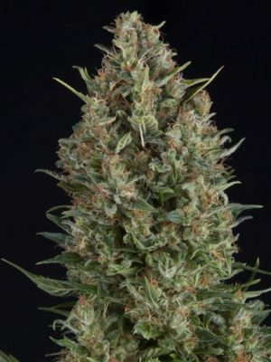 Wembley von Pyramid Seeds