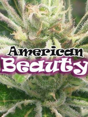 American Beauty von Dr Underground