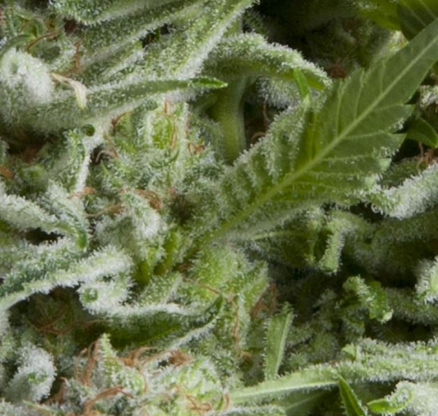 Auto-Alpujarrena von Pyramid Seeds