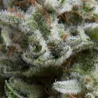 Auto Anesthesia von Pyramid Seeds
