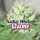 Auto Melon Gum von Dr Underground