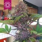 Bisho Purple von Tropical Seeds