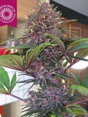 Bisho Purple von Tropical Seeds