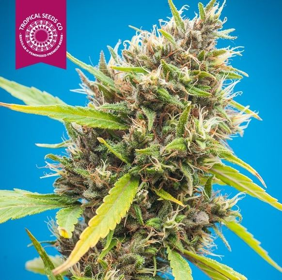 Durbakistan von Tropical Seeds
