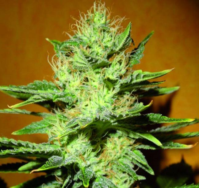 Mamba Negra CBD von Blimburn Seeds