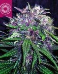 Red Afro von Tropical Seeds