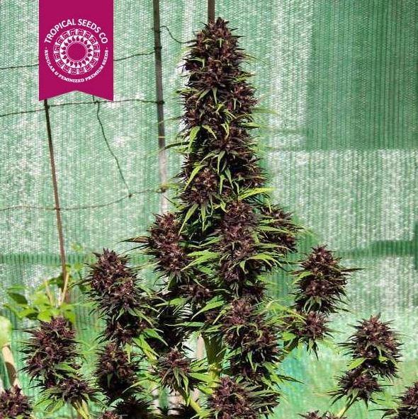 Smooth Smoke von Tropical Seeds