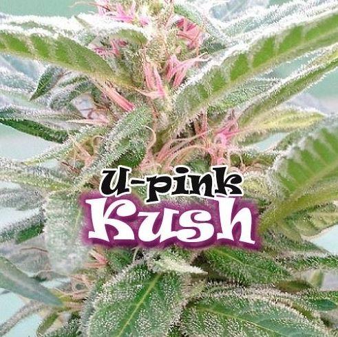 U-Pink Kush von Dr Underground