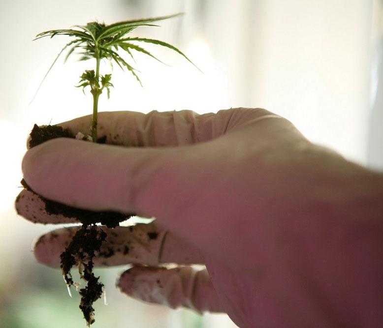 cannabis-umtopfen