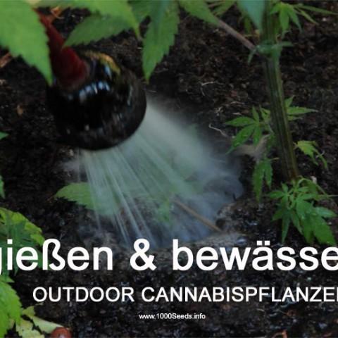 Cannabispflanzen Wasser
