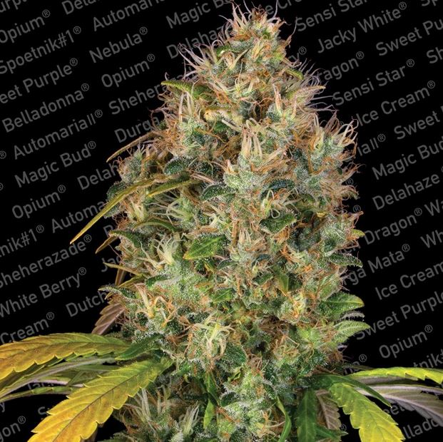 Dutch Kush von Paradise Seeds