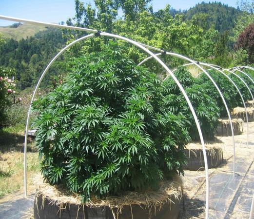 Cannabis-Mulch
