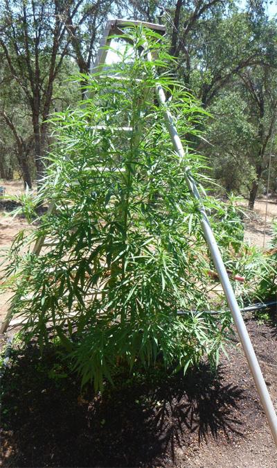 Cannabis-Trellinet