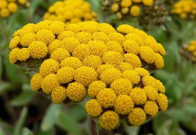 Strohblume phytocannabinoid