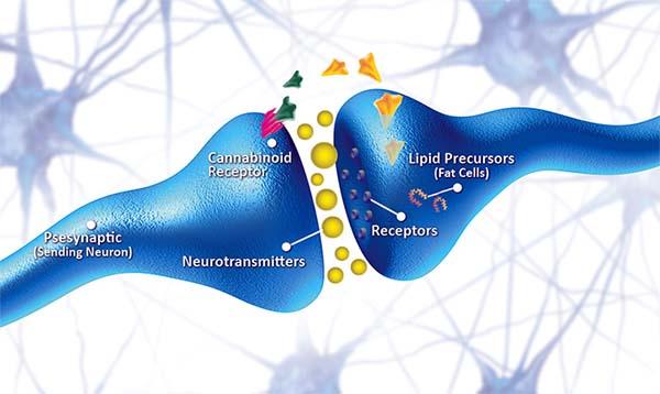 Cannabinoide Rezeptoren