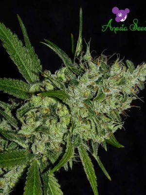 chemdog-anesia-seeds