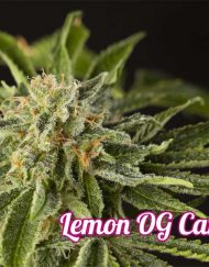 lemon-og-candy