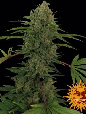 Critical Kush Auto von Barneys Farm