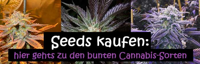 bunte cannabis sorten 1000seeds. Black Bedroom Furniture Sets. Home Design Ideas