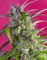 Crystal Candy Auto von Sweet Seeds