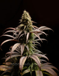 Lavender von Bulk Passion, feminisierte Cannabis Samen