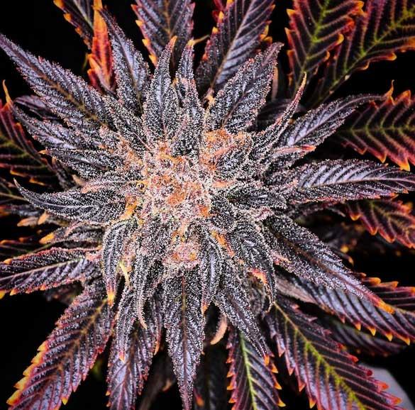 purple-Bud