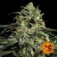 Peyote Cookies von Barneys Farm