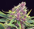 Purple Kush von Kannabia