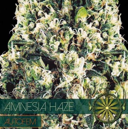Amnesia Haze Autofem von Vision Seeds