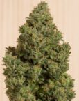 Blue Dream CBD von Humboldt Seeds