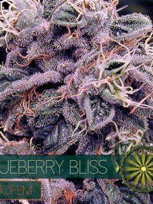 BlueBerry Bliss Auto von Vision Seeds