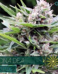Bona Dea CBD+ von Vision Seeds
