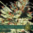 Delhi Cheese Auto von Vision Seeds
