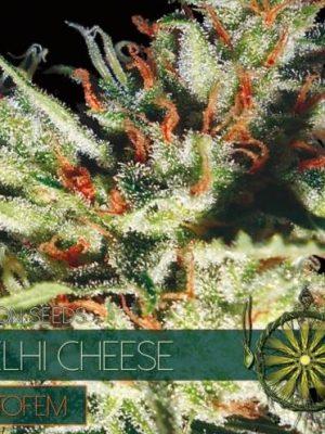 Delhi Cheese Auto von Vision Seeds