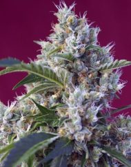 Indigo Berry Kush von Sweet Seeds