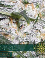 Lowryder Autofem von Vision Seeds
