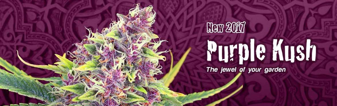 Purple-Kush-Kannabia