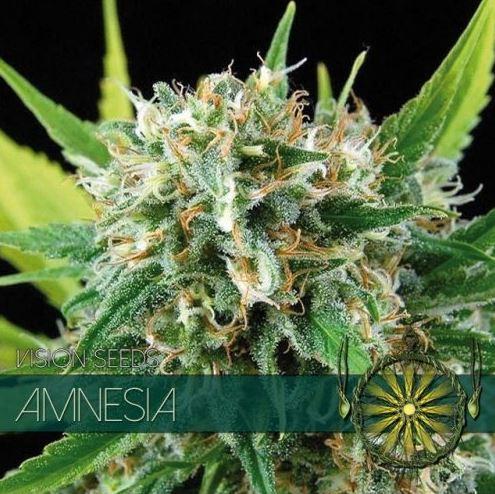 Amnesia von Vision Seeds