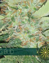 Big Bud von Vision Seeds