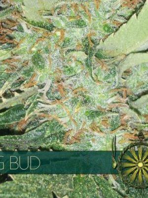 Big Bud von Vision Seeds