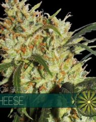 Cheese von Vision Seeds