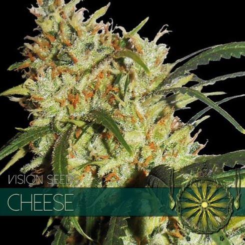 Cheese von Vision Seeds