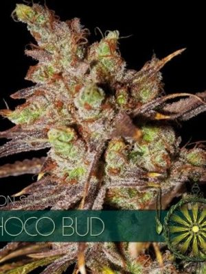 Choco Bud von Vision Seeds
